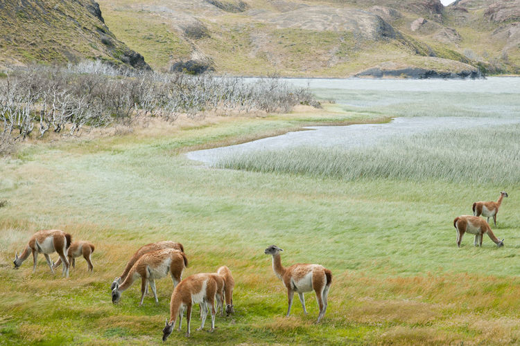 Guanacos - Torres Del Paine - Chile Chile National Park Animals In The Wild Grazing Guanacos Llama Mammal Patagonia Torres Del Paine