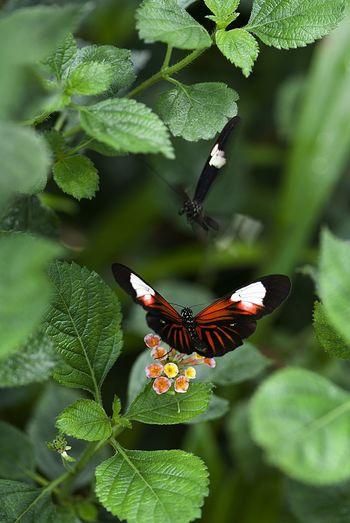 Close-Up Of Butterfly On Lantana Camara