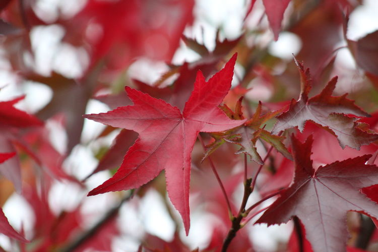 good morning EyeEm friends happy snappy Thursday 👍👍👍😊🕊👀🙌☕☕ Herbstlich Autumnal Leaves EyeEm Nature Lover EyeEm Best Shots Beauty In Nature Acer EyeEm Selects Leaf Autumn Red Tree Change Maple Tree Ice Hockey Close-up Twig Leaves Plant Part Plant Life Fallen Fall Leaf Vein