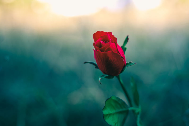Red rose with blur plant background Sepal Outdoors Selective Focus No People Focus On Foreground Rose - Flower Rosé Growth Inflorescence Nature Flower Head Close-up Red Freshness Petal Vulnerability  Fragility Plant Beauty In Nature Flowering Plant Flower Vulnerability  Rosé