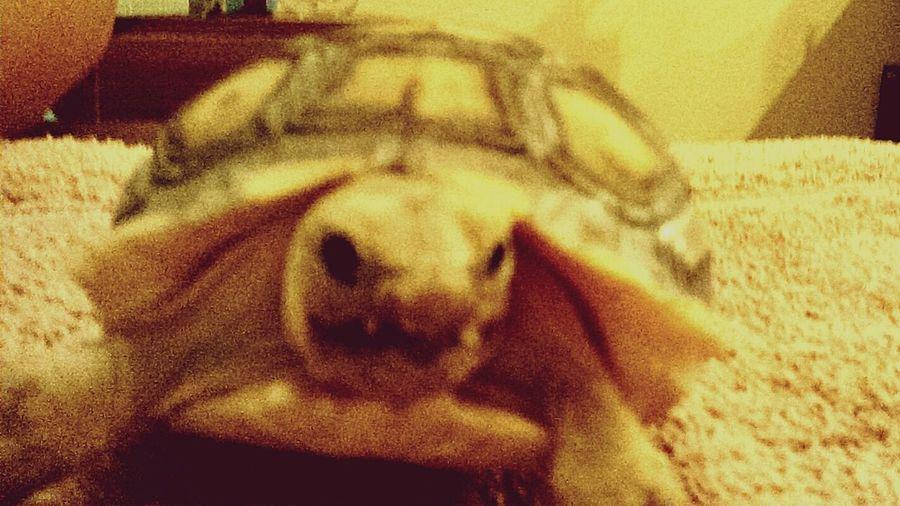 Tortoiselife Tortoise! Tortoisepose Desert Tortoise Taking Photos Hanging Out