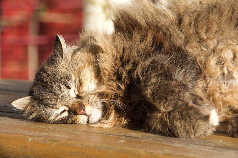Pet Sleeping Russian Cat Pet Portraits Cats Of EyeEm Pet Pets Feline Domestic Cat Whisker Close-up Cat Kitten Sleepy