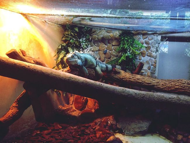 Iguana Zoo Zoology Reptile Green Yellow Blue Wood Mistery Exposure Animal Photography