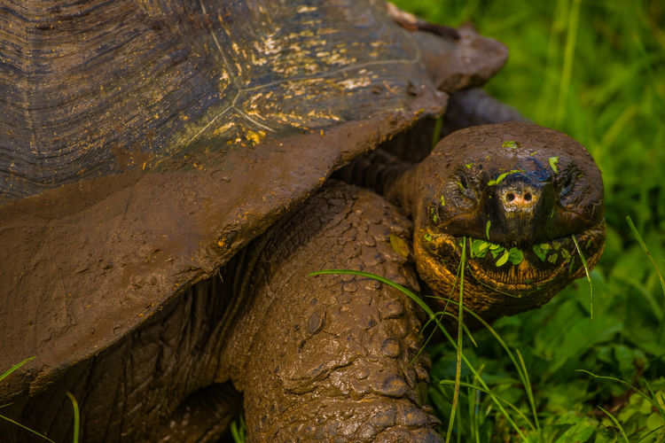 Close-up of giant tortoise eating