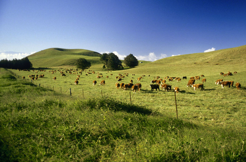 Cattle Big Island Cattle Ranch Hawaii Ranch Animal Themes Cattle Cattlefarm Clear Sky Cow Domestic Animals Farm Animal Field Grass Grazing Group Of Animals Landscape Large Group Of Animals Livestock Mammal Nature No People Outdoors Sky Sleeping Volcano Tree