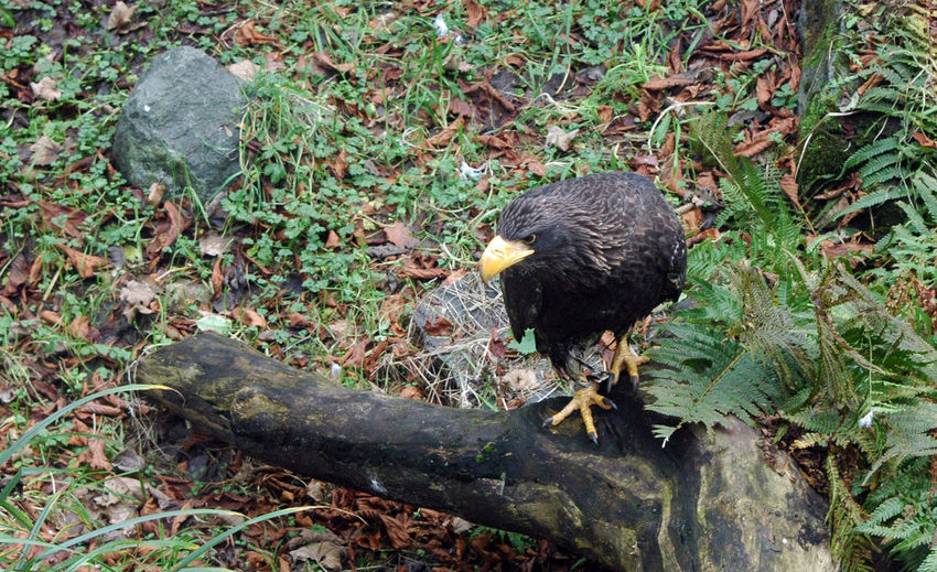 Stellers sea eagle perching on log