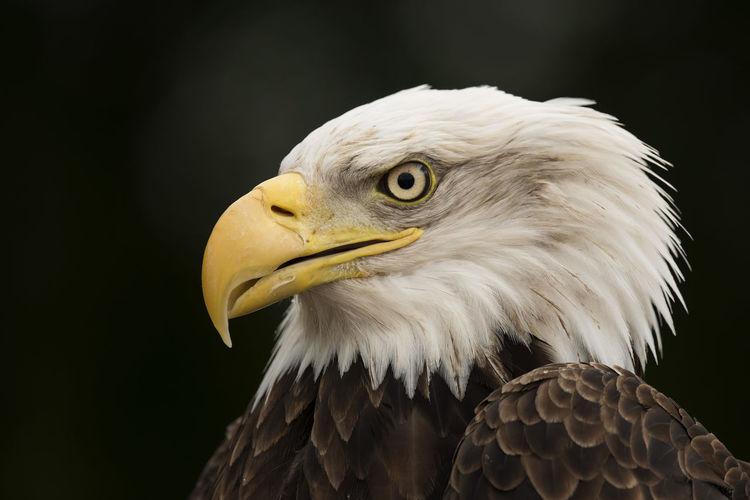 American Eagle Animal Head  Animal Themes Animal Wildlife Animals In The Wild Bald Eagle Bald Eagle Beak Bird Bird Of Prey Black Background Close-up Day Eagle - Bird Nature No People One Animal Outdoors