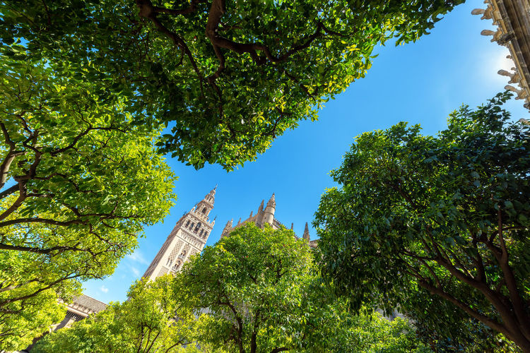 La Giralda tower as seen from an orange grove in the cathedral of the UNESCO World Heritage city of Seville, Spain Seville Sevilla SPAIN Andalucía Andalusia Europe European  Easter Holy Week Semana Santa Travel Travel Destinations Tourism Architecture Medieval Medieval Architecture Unesco UNESCO World Heritage Site Historic Downtown District Downtown City Center Historic Center Church Religion Catholic Catholicism Cathedral La Giralda La Giralda De Sevilla Tree Plant Sky Low Angle View Built Structure Building Exterior Green Color Place Of Worship Spirituality Tower
