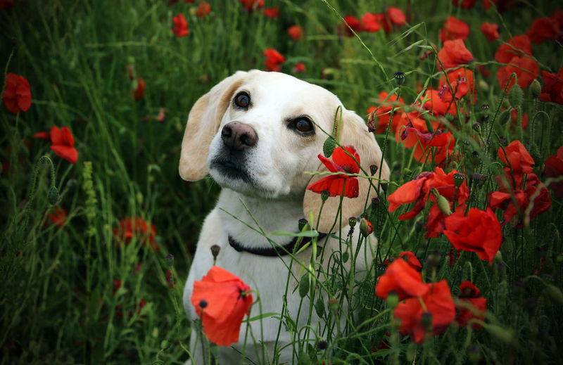 Portrait of dog with red flowers