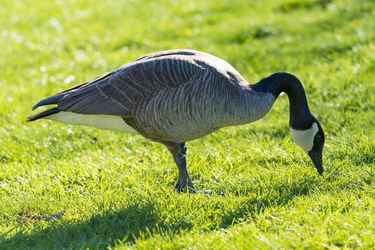 Close-Up Of Canada Goose Foraging On Grassy Field