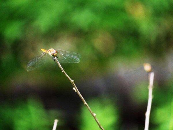 トンボ ウスバキトンボ Monarch Butterfly Nature Naturelovers Nature_collection EyeEm Nature Lover Flowers, Nature And Beauty
