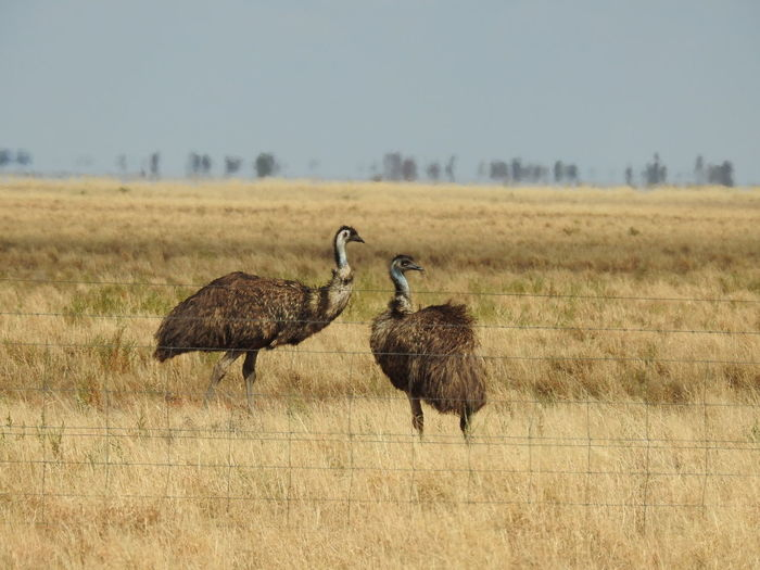 Two emus in field
