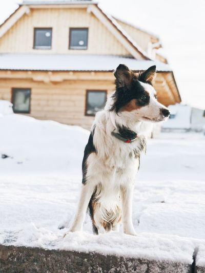 Dog standing on snow covered house during winter