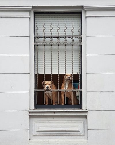 Window Domestic Animals Trapped Animal Themes Dog Dogs Dog Life Dog Window Animals Animal Photography Animal_collection Two Dogs Window View Windows Dogs Of EyeEm Dog Behind Fence Waiting Dogs Dog Collection Dogs Life Cover Background