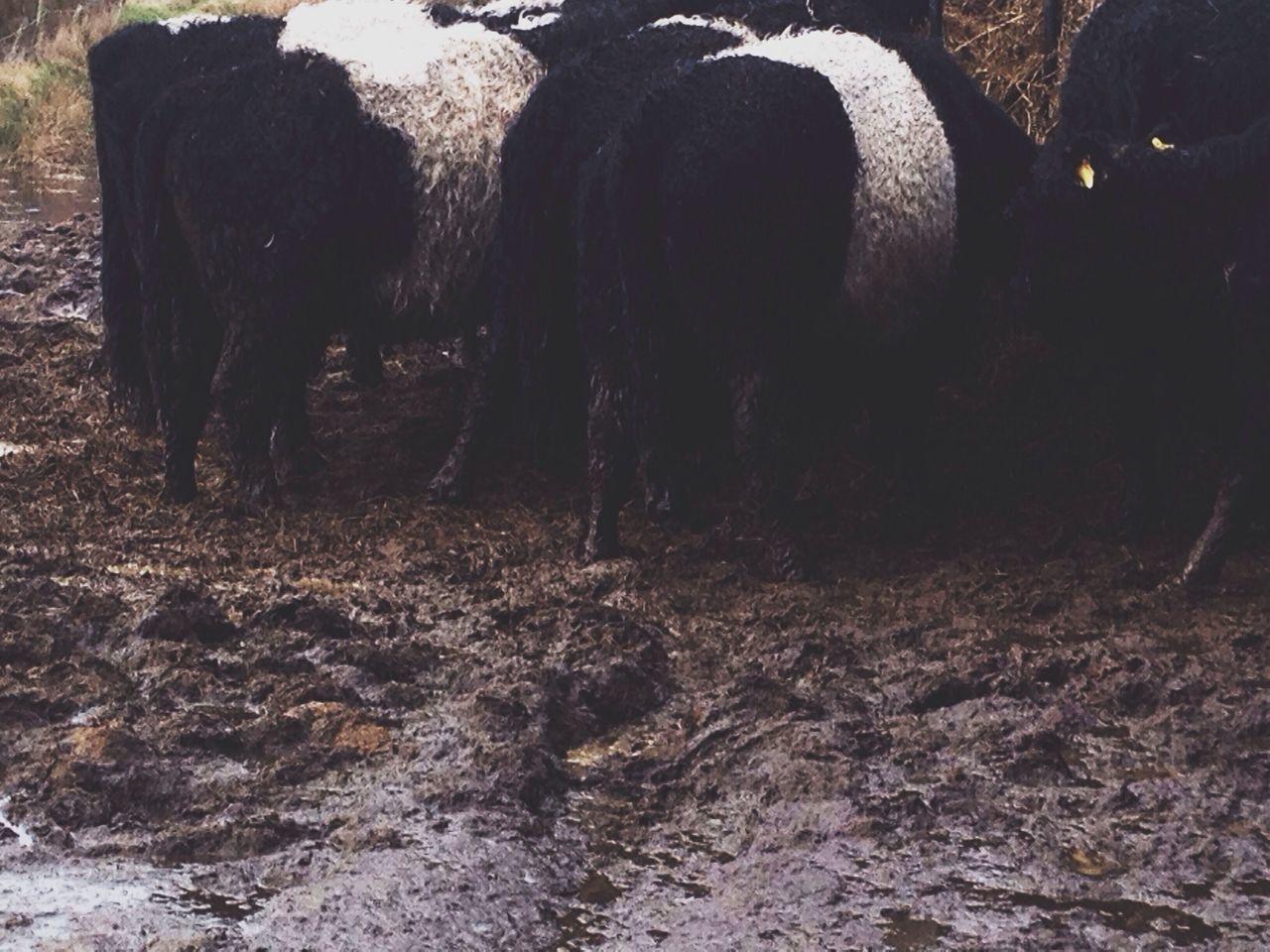 Rear view of sheep grazing