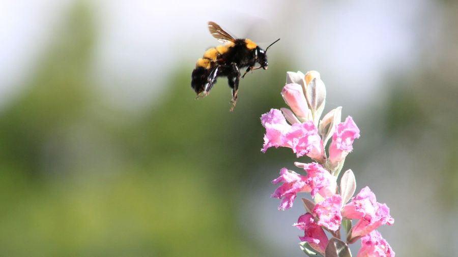 Close-up of bee buzzing on pink flower
