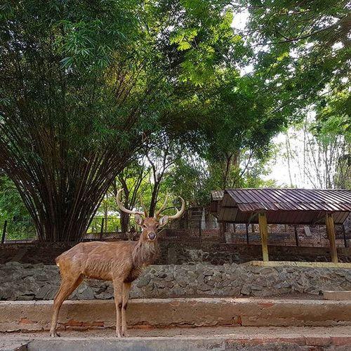 Yangonzoo Igersmyanmar Yangon Rangoon Instagood Instagram Yourworldgallery Mobilephotography Mobilephoto Burma Myanmar Choose2create Travelgood Deer Zoologicalgarden Wwim13myanmar AOV Artofvisuals Instameet Instameetyangon Instameetmyanmar Instameetingmyanmar Wwim13 Meistershots