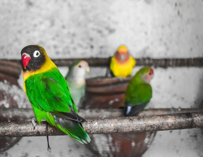 I just want to see what life outside my cage looks like? Beautiful Nature Wildlife Bird Beauty In Nature Nature Parrot Wildlifephotography Wildlife Photos First Eyeem Photo Nature Lovebirds LoveBirds ❤ Bird Photography Birdseyeview Birdphotography Parrot Lover Parrots Parrot Lovebirds