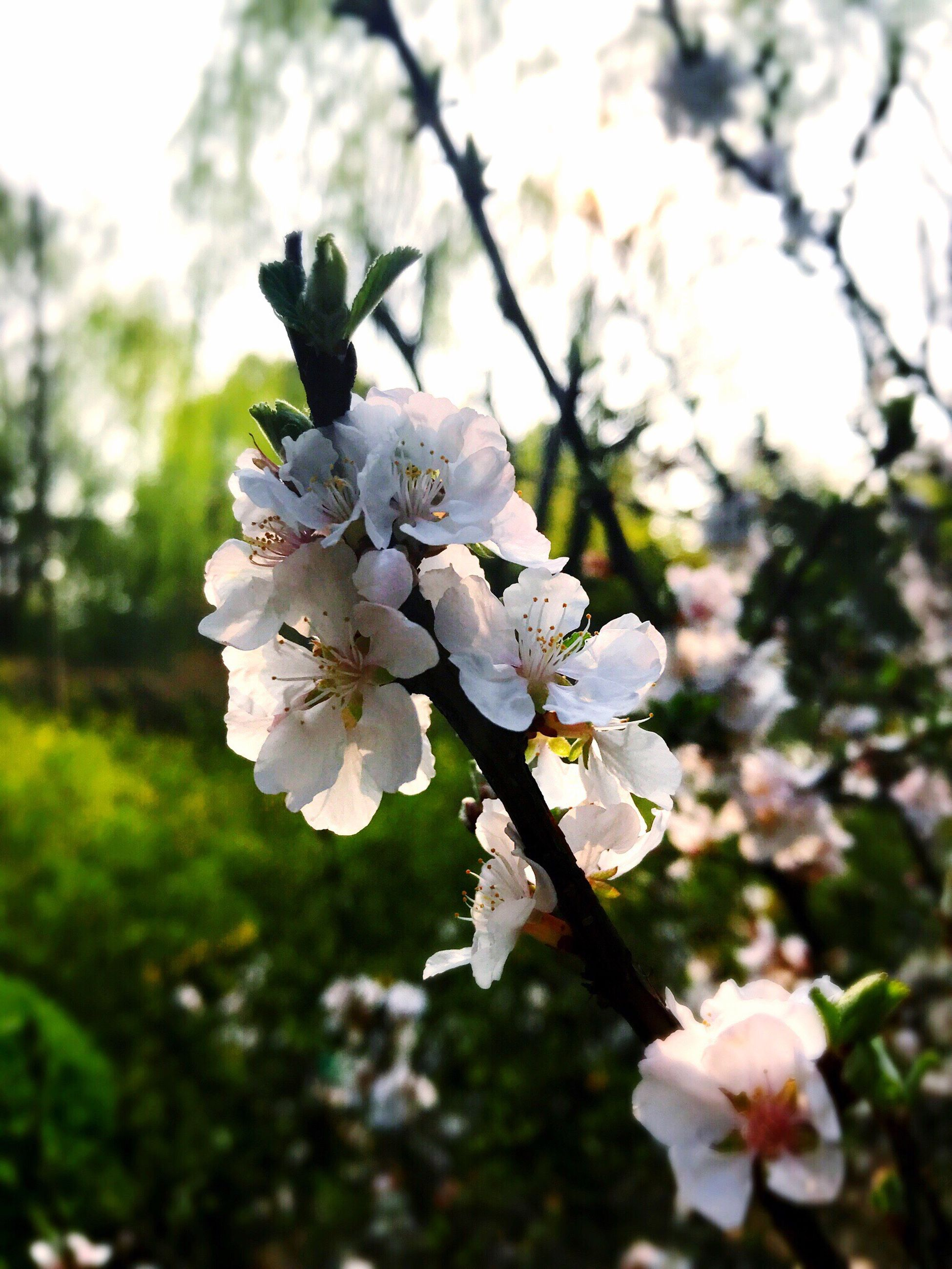 growth, nature, beauty in nature, springtime, flower, tree, twig, fragility, blossom, freshness, branch, close-up, outdoors, no people, flower head, petal, day, plum blossom, sky