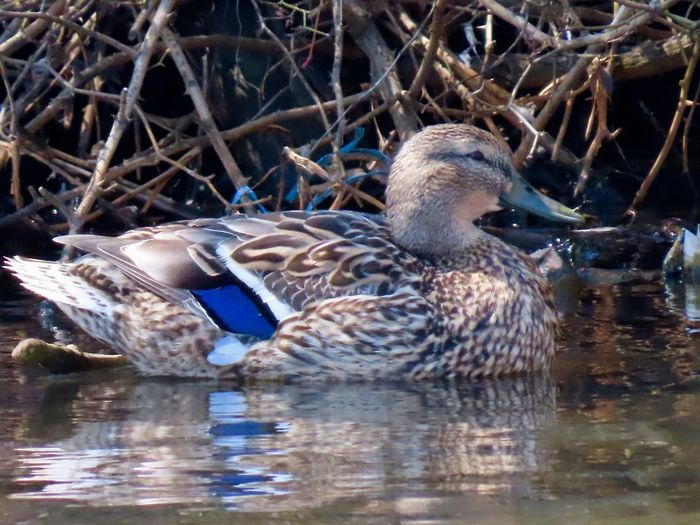 Duck in the water female mallard bare branches water reflections closeup animal themes beauty in nature Animal Wildlife One Animal No People