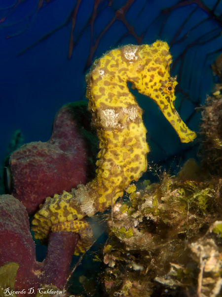 Jewels of the ocean. Seahorse LongsnoutFish Ocean Diving Deepblue SCUBA Coral Blue Yellow Colours Blueplanet Jewels Roatan Honduras Caribbean Paradise Macro Underwater Photography Uwphotography Animals Reef