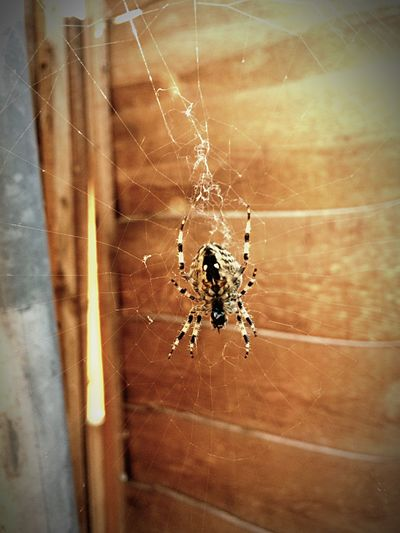 British Bugs Spider Spider Web Animals In The Wild Insect Spider Close-up Nature Wildlife British Spiderweb Day Outdoors Beauty In Nature