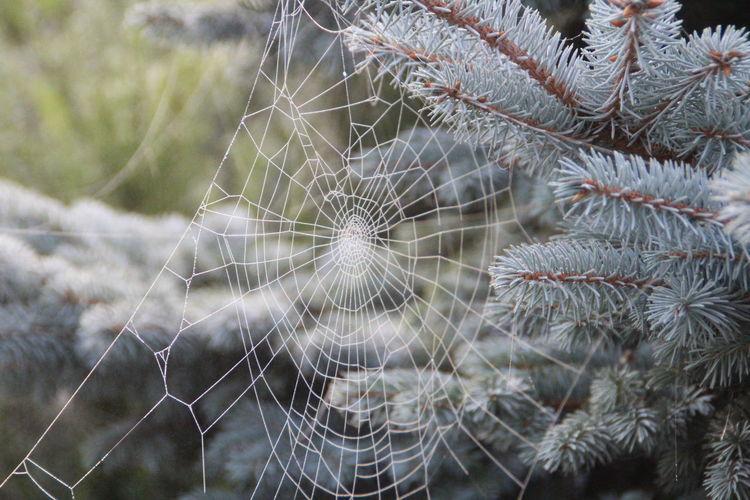 Webbed conifer