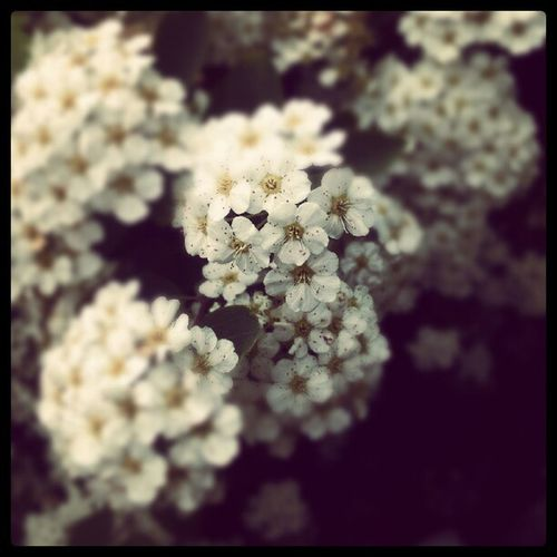 #flower IPhoneography Flower White Android Blossom Photooftheday Iphonesia Instagram Androisia Androideography Nature