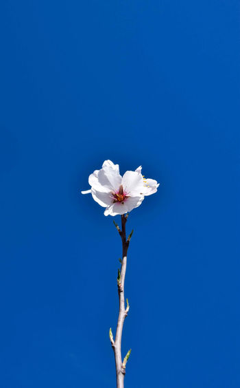 Close-up of white flower against blue sky
