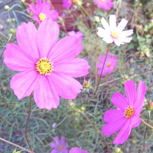 Good Morning World! Cosmos Nature Photography Mobilephotography