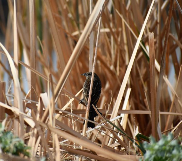 Song Sparrow Animal In Nature Animal Wildlife Bird One Bird Perched In Reeds Reeds Waterfront