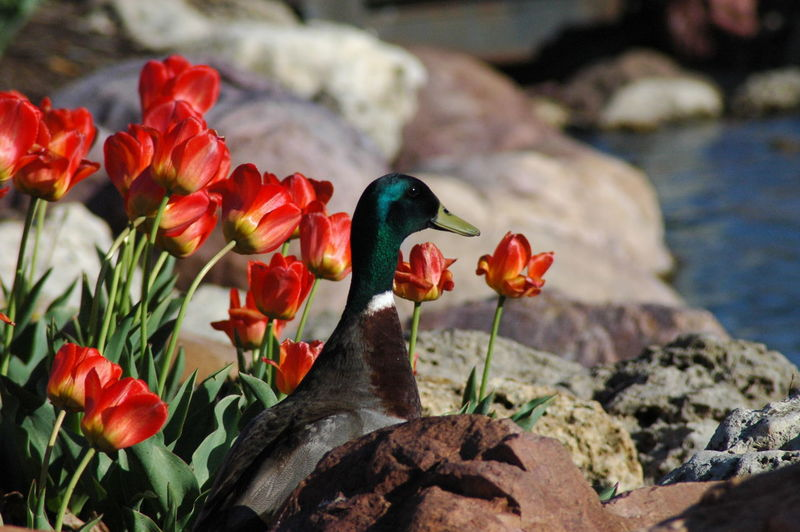 Mallard Duck By Red Tulips At Lakeshore