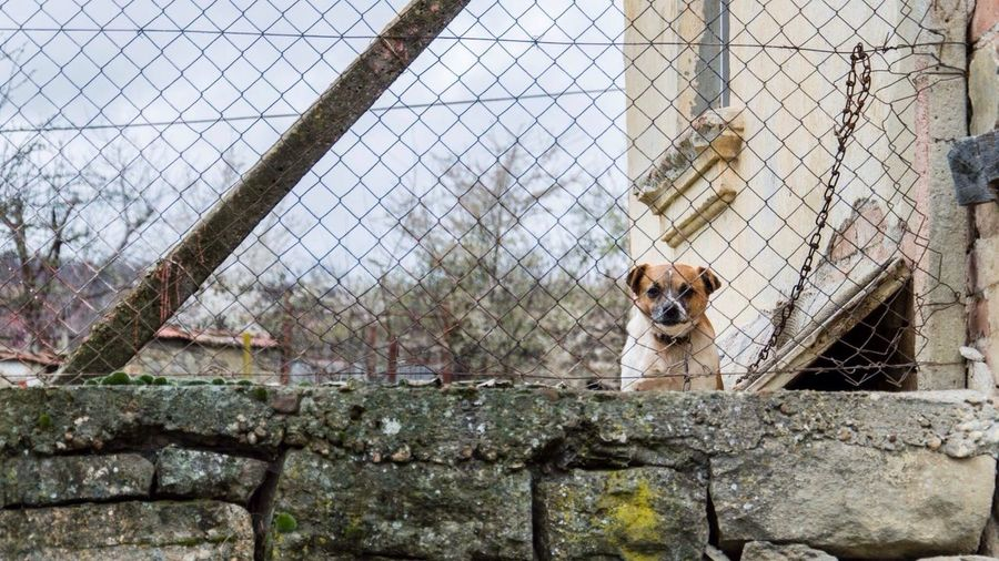 Dog looking through chainlink fence