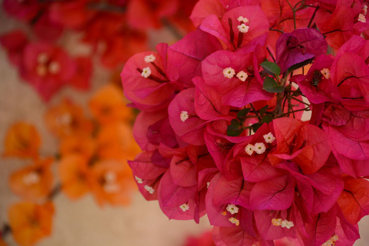 Close up bougainvillea Beauty In Nature Blooming Bougainvillea Close-up Day Flower Flower Head Focus On Foreground Fragility Freshness Growth Nature No People Outdoors Petal Pink Color Plant