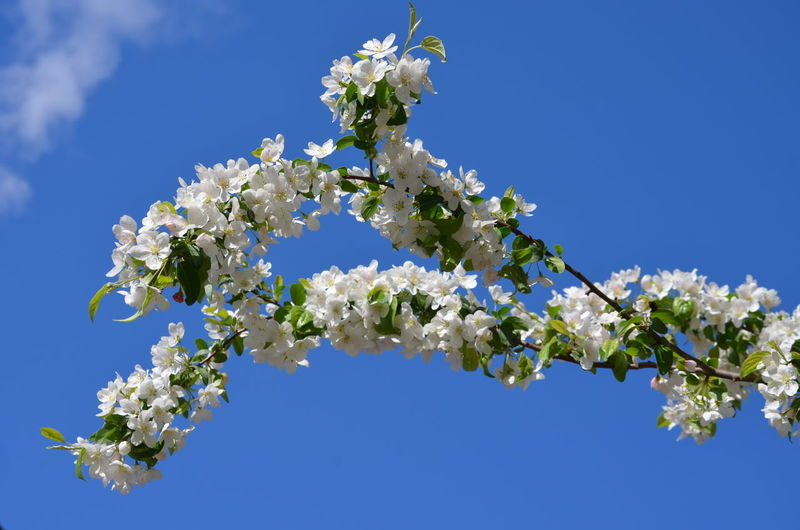 Branch of white apple tree flowers with blue sky in the background, spring flowers, close up Flower Plant Flowering Plant Beauty In Nature Fragility Vulnerability  Freshness Tree Nature White Color Blossom Springtime Clear Sky Close-up Outdoors Flower Head Bunch Of Flowers Spring Flowers White Flower Apple Blossom Apple Tree Blue Sky Sunny Day secret garden Garden