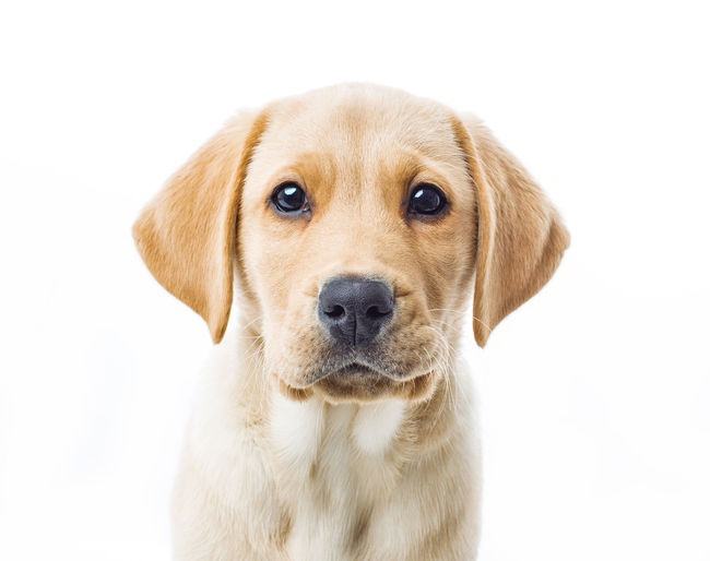 Keats the Labrador /retriever puppy. Guide dog puppy. Labrador LabradorRetriever Puppy Love Animal Themes Dog Guidedog Looking At Camera No People One Animal Pets Portrait Puppy Retriever Studio Shot White Background
