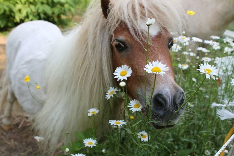 Portrait of horse with daisy flowers on field