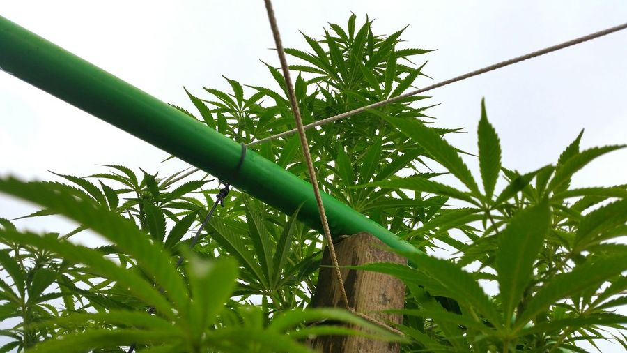 Ligalize Cannabis Ligalize It For Happy Summer Nature On Your Doorstep Weed Cannabis