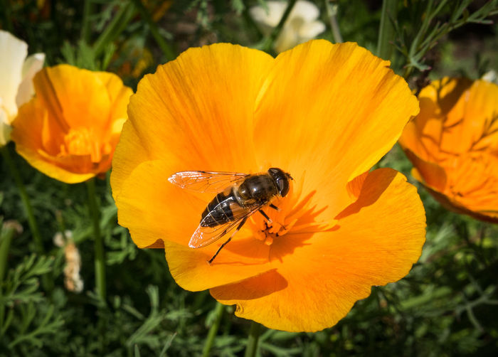 Bee on Californian poppy Bee Blooming Californian Poppy Close-up Flower Flower Head Flowers Focus On Foreground Garden Insect Macro Orange Petal Pollination Poppy Selective Focus Yellow Colour Of Life