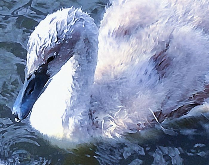 'Wet & Wild' Water Sea Power In Nature No People Close-up Nature Day Outdoors Growth Beauty In Nature SwanLife Swantastic Animal Wildlife Swans ❤ Swan Swanling Young Animal Bird Animals In The Wild Animal Themes Beautiful Summer Floating On Water Swimming KJ✨