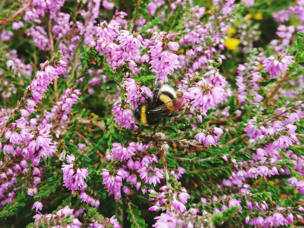 Bumble Bee Bumblebee Heather Pink Flower Pink Insect Insect Photography Yellow Flowers Gorse Bush Gorse Flowers Wirral Wirral Peninsula Thurstaston Hill Pink Flowers