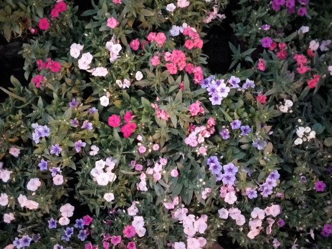 Captured at Horticulture Show Flower Freshness Nature Beauty In Nature Fragility Growth Purple Petal Plant Blooming Pink Color Flower Head No People Field Petunia Outdoors Day UVsPhotography LeEco1sEco Floral Photography Fullframe Beauty Beauty In Nature Go Green