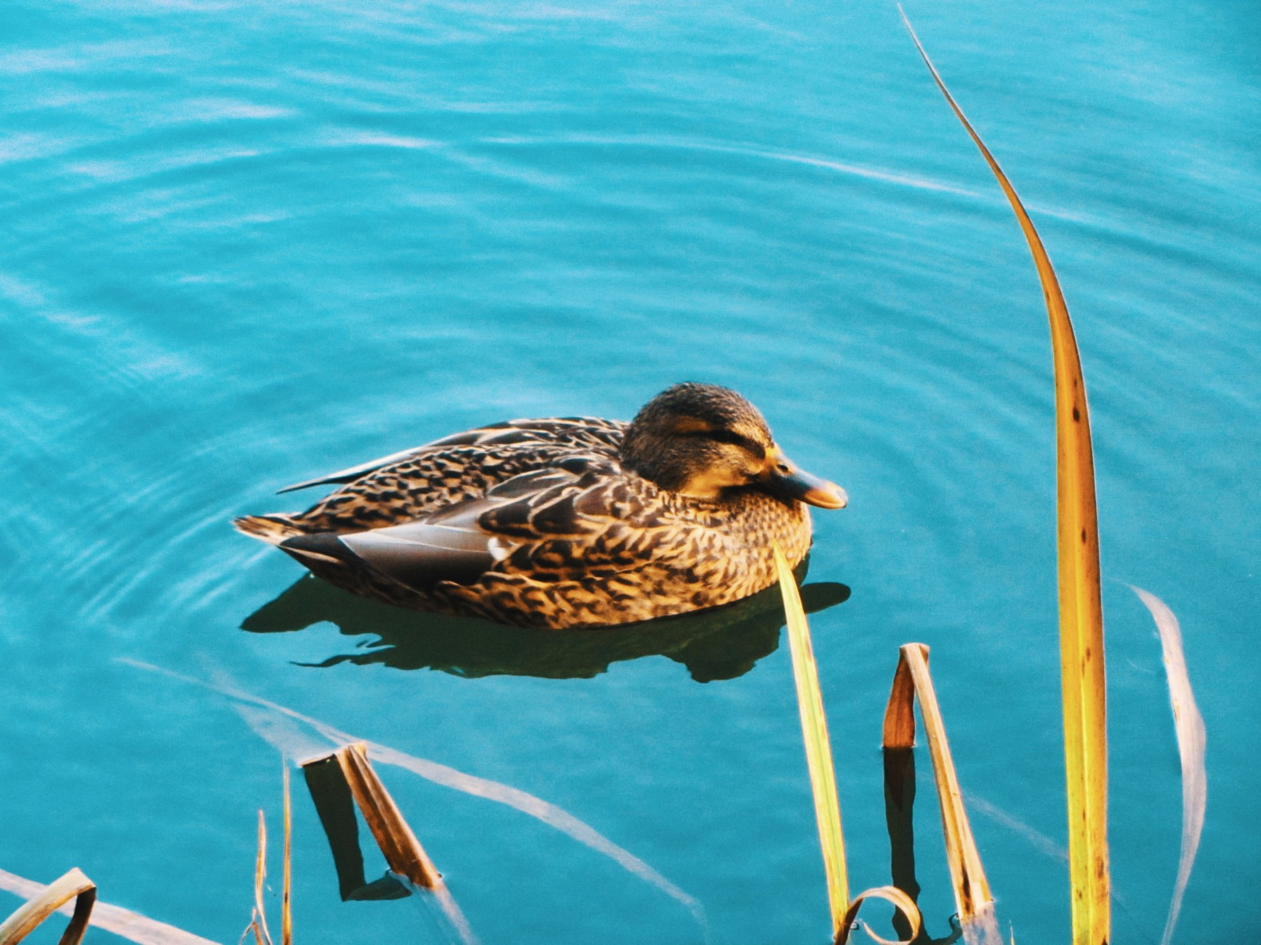 animal themes, animal, duck, water, animal wildlife, bird, wildlife, water bird, no people, nature, one animal, ducks, geese and swans, mallard, lake, high angle view, day, mallard duck, swimming, outdoors, poultry, blue