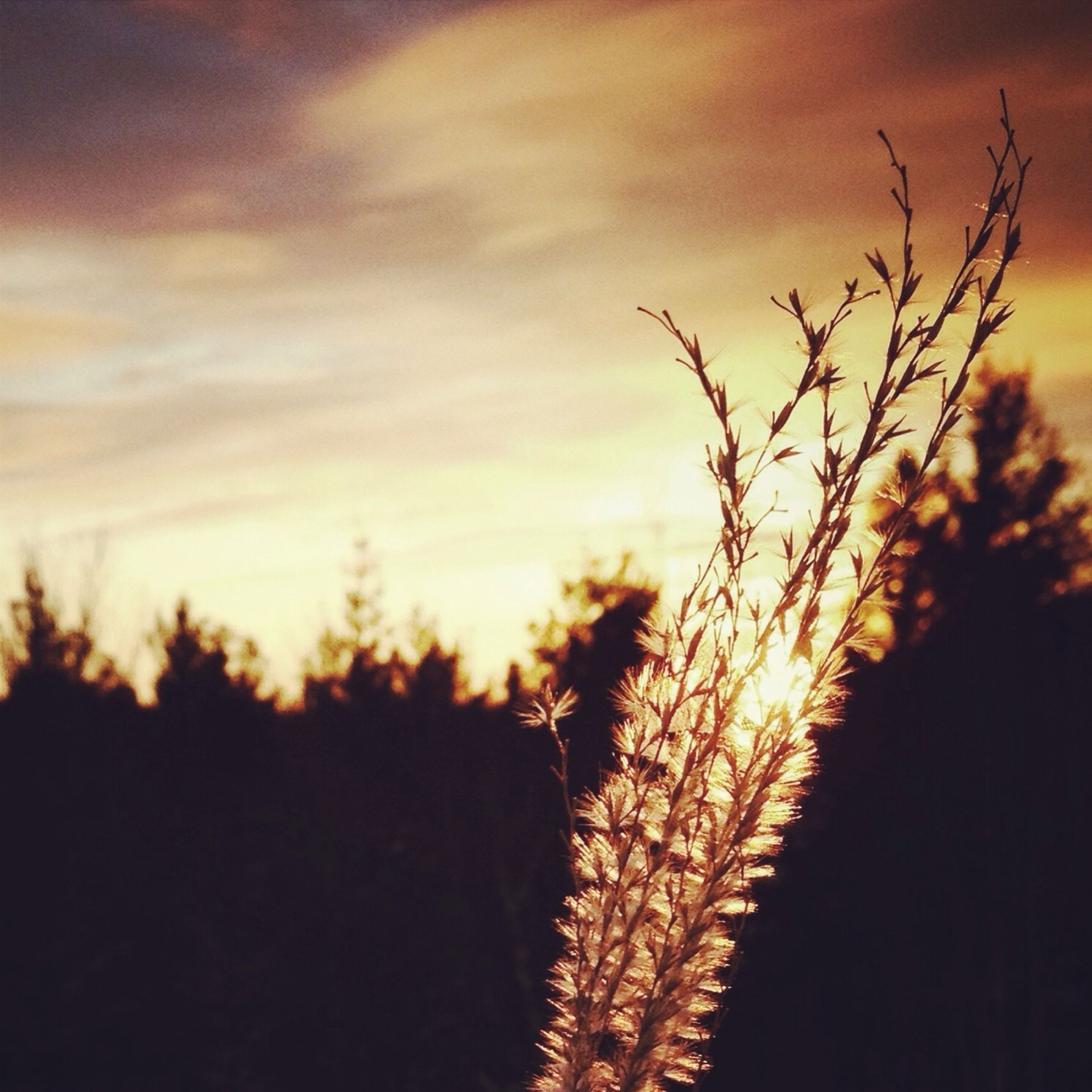 sunset, silhouette, sky, tranquility, beauty in nature, nature, orange color, growth, tranquil scene, plant, scenics, cloud - sky, focus on foreground, outdoors, idyllic, landscape, tree, field, no people, close-up