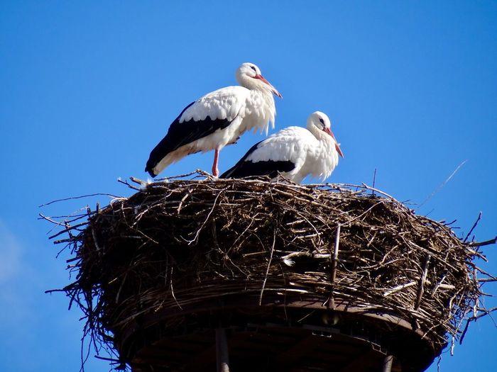 Stork Nest Bird Animal Vertebrate Animal Themes Animal Wildlife Low Angle View Sky