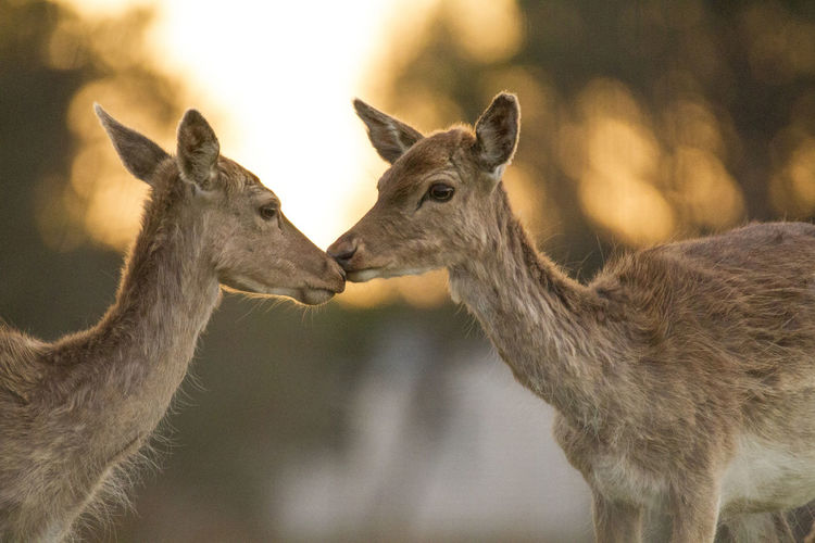 Animal Themes Animals In The Wild Antler Close-up Day Deer Hug Mammal Nature No People Outdoors Tenderness Togetherness Two Young Deer Together