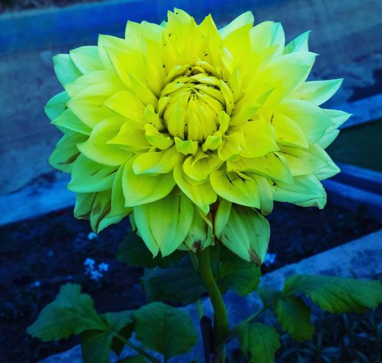 Yellow Dahlia flower with green leaves in garden Gardenphotography Garden Photography Garden Yellow Dahlias Yellow Dahlia DahliaGarden Dahlias Dahlia Flower Dahlia Flower Fragility Petal Freshness Beauty In Nature Flower Head Nature Growth No People Plant Leaf Yellow Close-up Blooming Day Outdoors