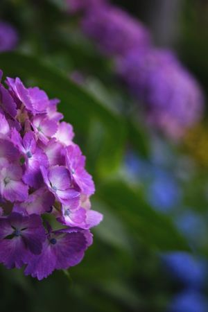 Flowers Flower Collection Flower Purple Nature Beauty In Nature Flower Head Agisai Quintaflower Beauty In Nature Japan