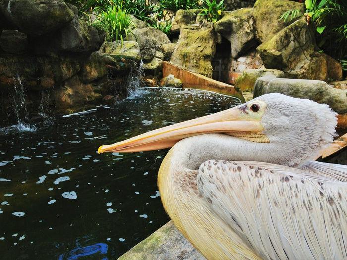 pelican bird at the stream Pelican Birds Large Birds Longbeak Water Stream