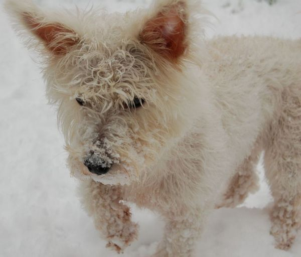 White Dog Walking in the Snow Snow Snow ❄ Dogs Of EyeEm Dogs Pet Dog Walking Shades Of Winter Animal Cold Temperature Animal Hair Winter Dog Snow One Animal White Color Mammal Portrait No People Nature Day Pets Animal Themes Outdoors Close-up Domestic Animals Snowflake EyeEmNewHere
